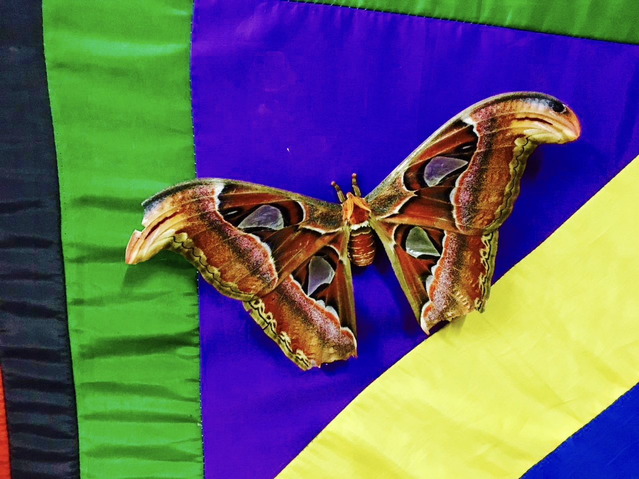 Atlas Moth-one of the largest in the world | Widen Your Horizon
